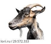 Купить «Коза, изолировано на белом фоне (фото в профиль)», фото № 29572333, снято 25 июня 2019 г. (c) Екатерина Овсянникова / Фотобанк Лори