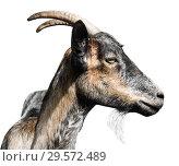 Купить «Серая коза, изолировано на белом фоне (фото в профиль)», фото № 29572489, снято 25 марта 2019 г. (c) Екатерина Овсянникова / Фотобанк Лори