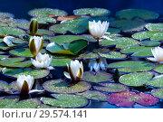 Купить «Белые цветы водяной лилии (nymphaea) в пруду», фото № 29574141, снято 2 апреля 2012 г. (c) Татьяна Белова / Фотобанк Лори