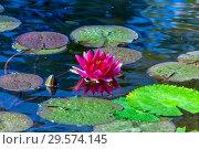 Купить «Розовая водяная лилия или нимфея в пруду», фото № 29574145, снято 2 апреля 2012 г. (c) Татьяна Белова / Фотобанк Лори