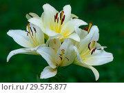 Купить «Цветы белой лилии», фото № 29575877, снято 27 июля 2011 г. (c) Татьяна Белова / Фотобанк Лори