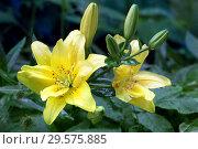 Купить «Цветы желтой лилии в каплях дождя», фото № 29575885, снято 27 июля 2011 г. (c) Татьяна Белова / Фотобанк Лори