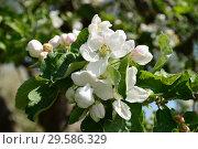 Купить «Цветения яблони», эксклюзивное фото № 29586329, снято 21 мая 2015 г. (c) lana1501 / Фотобанк Лори