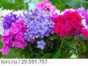 Купить «Букет разноцветных флоксов», фото № 29591757, снято 11 июля 2018 г. (c) Татьяна Белова / Фотобанк Лори