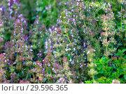 Купить «Тимьян ползучий или чабрец (Thymus serpyllum)», фото № 29596365, снято 11 июля 2018 г. (c) Татьяна Белова / Фотобанк Лори
