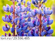Купить «Lupin purple flowers close up on green background», фото № 29596485, снято 9 июня 2018 г. (c) Алексей Маринченко / Фотобанк Лори