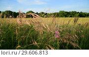 Купить «Mature oats in sunset light. Nature of Russia», видеоролик № 29606813, снято 27 июня 2018 г. (c) Володина Ольга / Фотобанк Лори