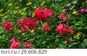 Купить «A Beautiful coral phlox bloom profusely», видеоролик № 29606829, снято 21 июля 2018 г. (c) Володина Ольга / Фотобанк Лори