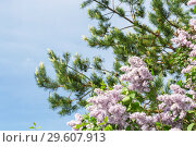 Floral spring summer floral background. Blooming branches of a lilac bush and pine against the backdrop of a sunny blue clear sky. Стоковое фото, фотограф Светлана Евграфова / Фотобанк Лори