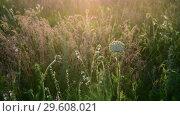 Купить «Fragments of the wild meadow in rays of setting sun. Nature of Russia», видеоролик № 29608021, снято 27 июня 2018 г. (c) Володина Ольга / Фотобанк Лори