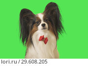 Купить «Beautiful dog Papillon with red bow on green background», фото № 29608205, снято 25 августа 2019 г. (c) Юлия Машкова / Фотобанк Лори