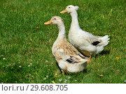 Купить «Хохлатые утки на травке (лат. Lophonetta specularioides)», эксклюзивное фото № 29608705, снято 25 июля 2015 г. (c) lana1501 / Фотобанк Лори