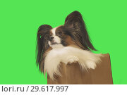Купить «Beautiful dog Papillon in cardboard box on green background», фото № 29617997, снято 25 августа 2019 г. (c) Юлия Машкова / Фотобанк Лори