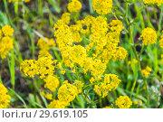 Купить «Желтые цветы сурепки обыкновенной (Barbarea vulgaris)», фото № 29619105, снято 18 мая 2017 г. (c) Алёшина Оксана / Фотобанк Лори