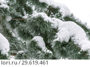 Купить «The background is natural. Weather, winter, cold. Branches of a pine tree covered with a snowdrift of fresh white snow», фото № 29619461, снято 23 декабря 2018 г. (c) Светлана Евграфова / Фотобанк Лори