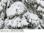 Купить «The background is natural. Weather, winter, cold. Branches of a pine tree covered with a snowdrift of fresh white snow», фото № 29619545, снято 23 декабря 2018 г. (c) Светлана Евграфова / Фотобанк Лори