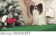 Купить «Papillon dog is talking near New Year tree stock footage video», видеоролик № 29619877, снято 27 декабря 2018 г. (c) Юлия Машкова / Фотобанк Лори