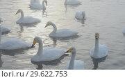 Купить «Beautiful white whooping swans», видеоролик № 29622753, снято 27 декабря 2018 г. (c) Jan Jack Russo Media / Фотобанк Лори