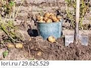Купить «Freshly dug organic potatoes and shovel in the soil», фото № 29625529, снято 24 августа 2018 г. (c) FotograFF / Фотобанк Лори
