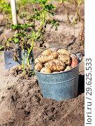 Купить «Freshly dug potatoes in metal bucket and shovel», фото № 29625533, снято 24 августа 2018 г. (c) FotograFF / Фотобанк Лори