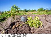 Купить «Freshly dug potatoes in metal bucket on the field in sunny day», фото № 29625541, снято 24 августа 2018 г. (c) FotograFF / Фотобанк Лори