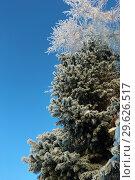 Купить «Пихта и береза в инее. Зима.», эксклюзивное фото № 29626517, снято 16 декабря 2018 г. (c) Анатолий Матвейчук / Фотобанк Лори