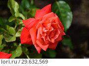 Роза чайно-гибридная Бьюти Стар (лат. Beauty Star), Fryer's Roses, 1990. Стоковое фото, фотограф lana1501 / Фотобанк Лори
