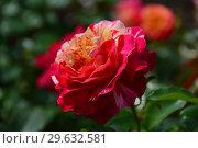 Роза флорибунда Камиль Писсарро (Camille Pissarro), Delbard, 1996. Стоковое фото, фотограф lana1501 / Фотобанк Лори
