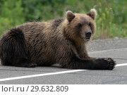 Купить «Медведь лежит на обочине дороги», фото № 29632809, снято 31 июля 2018 г. (c) А. А. Пирагис / Фотобанк Лори