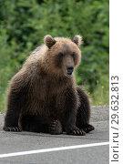 Купить «Медведь сидит на обочине дороги», фото № 29632813, снято 31 июля 2018 г. (c) А. А. Пирагис / Фотобанк Лори