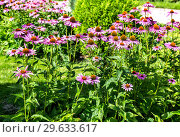 Купить «Pink Echinacea flowers (purple coneflower) on nature background», фото № 29633617, снято 9 августа 2018 г. (c) FotograFF / Фотобанк Лори