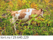 Купить «A large spotted cow wandered into the thick grass.», фото № 29640229, снято 3 сентября 2018 г. (c) Акиньшин Владимир / Фотобанк Лори