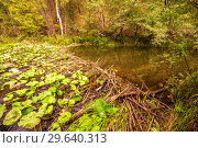Beaver dam on the river. Стоковое фото, фотограф Акиньшин Владимир / Фотобанк Лори