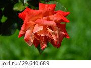 Купить «Чайно-гибридная роза Ремембэ Ми (Римембер Ми) (Remember Me), Cocker Великобритания, 1984», эксклюзивное фото № 29640689, снято 15 июля 2015 г. (c) lana1501 / Фотобанк Лори
