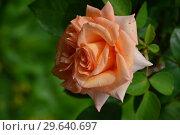 Роза чайно-гибридная Вом Вишес (лат. Warm Wishes), Fryer's Roses, 1994. Стоковое фото, фотограф lana1501 / Фотобанк Лори