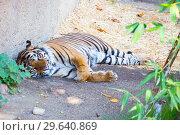 Купить «Тигр», фото № 29640869, снято 27 февраля 2016 г. (c) Галина Савина / Фотобанк Лори