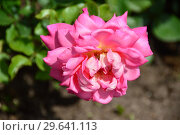Купить «Роза чайно-гибридная Одри Уилкокс (Rosa Audrey Wilcox), Fryers Roses, 1995», эксклюзивное фото № 29641113, снято 15 июля 2015 г. (c) lana1501 / Фотобанк Лори