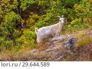 Купить «Domestic white goat on a rocky hill.», фото № 29644589, снято 7 сентября 2018 г. (c) Акиньшин Владимир / Фотобанк Лори