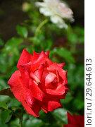 Роза чайно-гибридная Бьюти Стар (Beauty Star), Fryer's Roses, Великобритания 1990. Стоковое фото, фотограф lana1501 / Фотобанк Лори