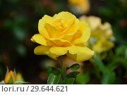 Купить «Роза чайно-гибридная Кип Смайлинг (Rosa Keep Smiling), Fryer's Roses, Англия, 2004», эксклюзивное фото № 29644621, снято 15 июля 2015 г. (c) lana1501 / Фотобанк Лори