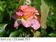 Купить «Роза чайно-гибридная Британия (лат. Britannia), Fryer's Roses, Англия 1998», эксклюзивное фото № 29644761, снято 29 июля 2015 г. (c) lana1501 / Фотобанк Лори