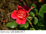 Купить «Роза кустарниковая Рен Саммю (Reine Sammut), Guillot, Франция, 2009», эксклюзивное фото № 29644917, снято 13 июля 2015 г. (c) lana1501 / Фотобанк Лори