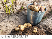 Купить «Freshly dug organic potatoes at the vegetable garden», фото № 29645197, снято 25 августа 2018 г. (c) FotograFF / Фотобанк Лори