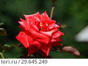 Алая чайно-гибридная роза Бьюти Стар (Rosa Beauty Star), Fryer's Roses, 1990. Стоковое фото, фотограф lana1501 / Фотобанк Лори