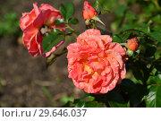 Купить «Роза флорибунда Таттон (FRYentice, Casanova, Francois Mauriac, Tatton Park) (Tatton), Fryers Roses, Великобритания, 2000», эксклюзивное фото № 29646037, снято 27 июля 2015 г. (c) lana1501 / Фотобанк Лори