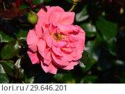 Купить «Роза флорибунда Гордонс Колледж  (Rosa Gordon's College (Braveheart, COCjabby), Anne G. Cocker Шотландия, 1993», эксклюзивное фото № 29646201, снято 27 июля 2015 г. (c) lana1501 / Фотобанк Лори
