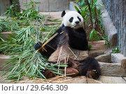 Трапеза гигантской панды в городском зоопарке. Чианг Май, Таиланд (2018 год). Редакционное фото, фотограф Виктор Карасев / Фотобанк Лори