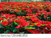 Купить «Closeup of flowering poinsettias», фото № 29648853, снято 22 ноября 2018 г. (c) Яков Филимонов / Фотобанк Лори