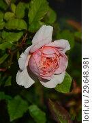 Купить «Роза кустарниковая Фрэнсис Блэз (Френсис Блейз) (лат. Rosa Francis Blaise),Guillot- Massada (Гийо-Массада), Франция 1999», эксклюзивное фото № 29648981, снято 21 июля 2015 г. (c) lana1501 / Фотобанк Лори
