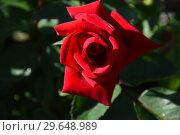 Купить «Роза чайно-гибридная Валентино (лат. Valentino), Barni, Италия 2009», эксклюзивное фото № 29648989, снято 21 июля 2015 г. (c) lana1501 / Фотобанк Лори
